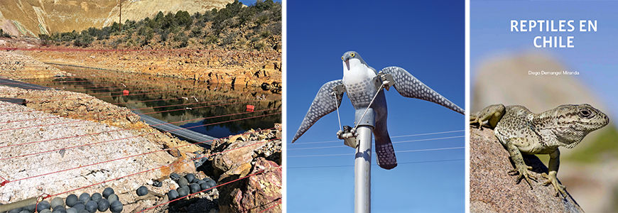 Migratory birds can attempt to utilize water features at mining locations. Some company mines in the southwestern U.S. use mechanical predator Bird Advert Systems (middle) along with monofilament lines (left) to deter birds from landing on processed water. (right)The Gruñidor de Valeria (Pristidactylus valeriae) is one of numerous endemic reptiles catalogued in the El Abra–sponsored book by Diego Demangel. Freeport-McMoRan has assisted in publishing over 20 books that promote research and conservation of the flora and fauna inhabiting areas that surround our global operations.